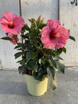 Hibiskus Busch pink