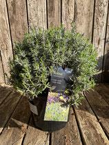 Lavendel Busch 'Munstead' Gesamthöhe ca. 35cm