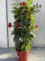 Dipladenie / Mandevilla Säule 17cm Topf  Höhe ca. 70cm rot