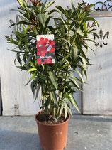 Oleander Busch rot Höhe ca. 75cm