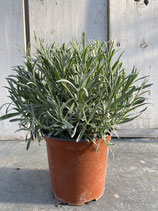 Lavendel Busch Topf 19cm Gesamthöhe ca. 40cm
