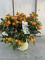 Lantana camara Busch orange/gelb