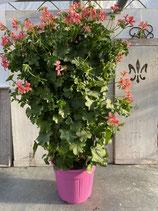 Geranien Säule rosa Höhe ca. 100cm