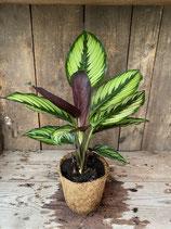 Calathea hellgrün gestreift im Kokosfasertopf  Höhe ca. 26cm