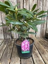 Rhododendron - Hybride 'Rosen Elegans' Topfdurchmesser 19 cm reine Pflanzenhöhe ca. 40 cm