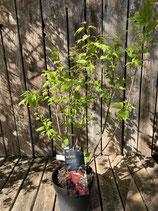 Acer ginnala 'Feuer Ahorn' Höhe ca. 65 cm