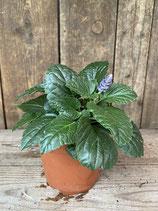 Pflanze des Jahres 2019  Frecher Michel Ziersalbei