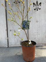 Blaubeere reine Pflanzenhöhe ca. 40-50cm