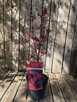 Acer palmatum 'Twombly´s Red Sentinel' Höhe ca. 70 cm