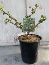 Grüne Stachelbeere reine Pflanzenhöhe ca. 20-30cm