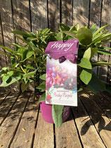 Rhododendron 'Pushy Purple'  Topfdurchmesser 19 cm reine Pflanzenhöhe ca. 35 cm