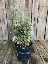 Euonymus japonicus 'White Spire' Höhe 25/30cm