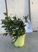 Solanum rant. Busch