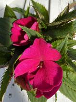 Edellieschen / Impatiens Neuguinea pink