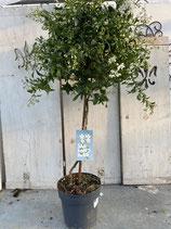 Solanum jasminoides Hochstamm