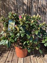Rhododendron Topfdurchmesser 29 cm reine Pflanzenhöhe ca. 50 cm