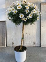 Margeritenhochstamm Topfdurchmesser 19cm weiß