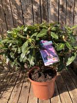 Rhododendron 'Goldflimmer' Topfdurchmesser 29 cm reine Pflanzenhöhe ca. 45 cm
