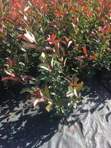 Glanzmispel Red Robin 60-80 cm Höhe , Topfware