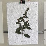 Postkarte aus Samenpapier - Minze