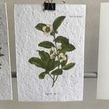 Postkarte aus Samenpapier - Teeblüte