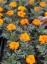 OEILLET D'INDE - BARQUETTE DE 10 PLANTS