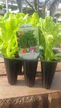 Pflücksalat grün 6er Pack