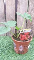 Erdbeere Elsanta