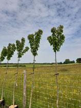 Prunus avium - Kirsche