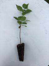 Gewöhnlicher Trompetenbaum (Catalpa bignonioides)