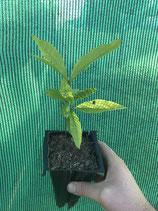 Schindel-Eiche (Quercus imbricata)