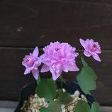 濃色八重咲梅花カラマツ