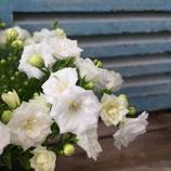 八重咲きカンパニュラワンダーランド