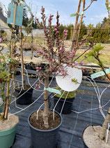 Zwergnektarine - Prunus nucipersica