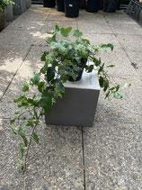 Efeu kleinblättrig grün