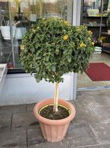 Wandelröschen Baum- Lantana camara  (ohne Tontopf!)