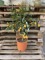Kumquat x Clementine Bäumchen - Citrus Fortunella x Citrus Clementine