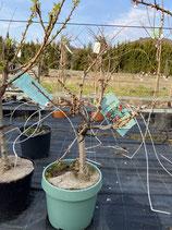 Zwergkirsche - Prunus avium 'Garden Bing'