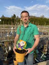 erlenblättrige Felsenbirne - Amelanchier Alnifolia 'Saskatoon Berry'