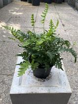 Tüpfelfarn - Polypodium vulgare
