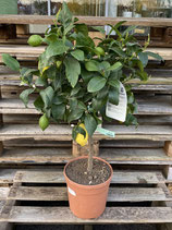 Zitronenbaum - Citrus Limone