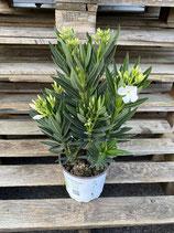 Oleander klein - Simple weiß
