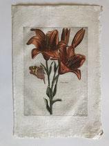 Nicolas Robert (1614-1684). Lilium (1644)