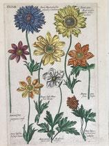M. B. Valentini (1657-1729). Tab. 81. Anémonas (1719)