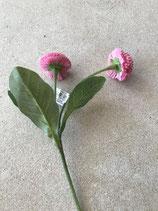 Bellis (Gänseblümchen) in rose-pink 2-blütig