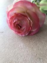 Rankunkel  rose-pink Stiel