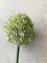 Allium Blüte in grün Stiel Länge 70cm