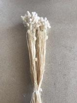 Lagurus weiß gebleicht und getrocknet Bund