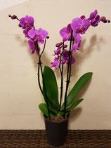Phalaenopsis paars