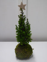 """Kokedama """"Chamaecyparis thyoides Top Point"""" Conical Cypress"""